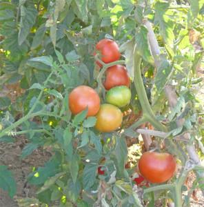 Verdura ecologica